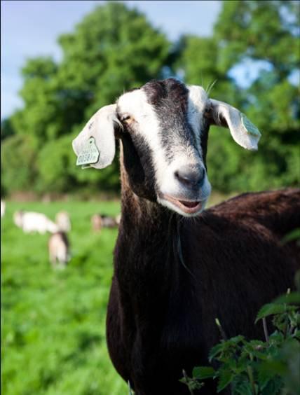 Bluebell Falls Goat Farm
